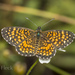 Elada Checkerspot - Photo (c) Felix Fleck, some rights reserved (CC BY-NC)