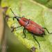 Dryophthorinae - Photo (c) Felix Fleck,  זכויות יוצרים חלקיות (CC BY-NC)