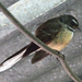 South Island Fantail - Photo (c) Jon Sullivan, some rights reserved (CC BY)