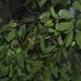 Alepis flavida - Photo (c) Jon Sullivan, μερικά δικαιώματα διατηρούνται (CC BY)