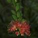 Scarlet Rātā Vine - Photo (c) Jon Sullivan, some rights reserved (CC BY)
