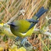 New Zealand Bellbirds - Photo (c) dubh, some rights reserved (CC BY-NC), uploaded by Gathadair