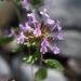 Hedeoma acinoides - Photo (c) Curren Frasch,  זכויות יוצרים חלקיות (CC BY-NC)