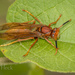 Neotropical Red Paper Wasp - Photo (c) Felix Fleck, some rights reserved (CC BY-NC)