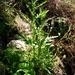 Senecio hispidulus - Photo (c) Jon Sullivan,  זכויות יוצרים חלקיות (CC BY)