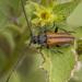 Neocrossidius trivittatus - Photo (c) Felix Fleck, algunos derechos reservados (CC BY-NC)