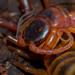 Scolopendra viridicornis - Photo (c) pedrohenriquetunes, algunos derechos reservados (CC BY-NC)