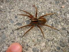 Dolomedes minor - Photo (c) Jon Sullivan, some rights reserved (CC BY)