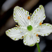 Grass of Parnassus - Photo (c) Mary Keim, some rights reserved (CC BY-NC-SA)