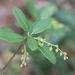 Pieris phillyreifolia - Photo (c) Mary Keim, algunos derechos reservados (CC BY-NC-SA)