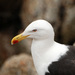 Southern Black-backed Gull - Photo (c) Don Faulkner, some rights reserved (CC BY-SA)