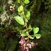 Pennantia corymbosa - Photo (c) Jon Sullivan, algunos derechos reservados (CC BY)