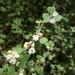 Muehlenbeckia astonii - Photo (c) Jon Sullivan, algunos derechos reservados (CC BY)