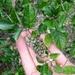 Carpodetus serratus - Photo (c) Jon Sullivan, algunos derechos reservados (CC BY)