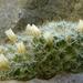 Mammillaria crinita - Photo (c) Ma. Eugenia Mendiola González, algunos derechos reservados (CC BY-NC)