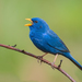 Yellow-billed Blue Finch - Photo (c) Cláudio Dias Timm, some rights reserved (CC BY-NC-SA)