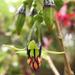 Fuchsia excorticata - Photo (c) Jon Sullivan, μερικά δικαιώματα διατηρούνται (CC BY-NC)