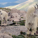 Mountain Goat - Photo (c) Steve Wagner, some rights reserved (CC BY-NC)