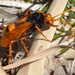 Two-colored Orange Spider Wasp - Photo (c) Pam Piombino, some rights reserved (CC BY-NC)