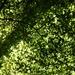 Nothofagus truncata - Photo (c) Jon Sullivan, algunos derechos reservados (CC BY)