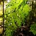 Hymenophyllum dilatatum - Photo (c) Jon Sullivan, algunos derechos reservados (CC BY)