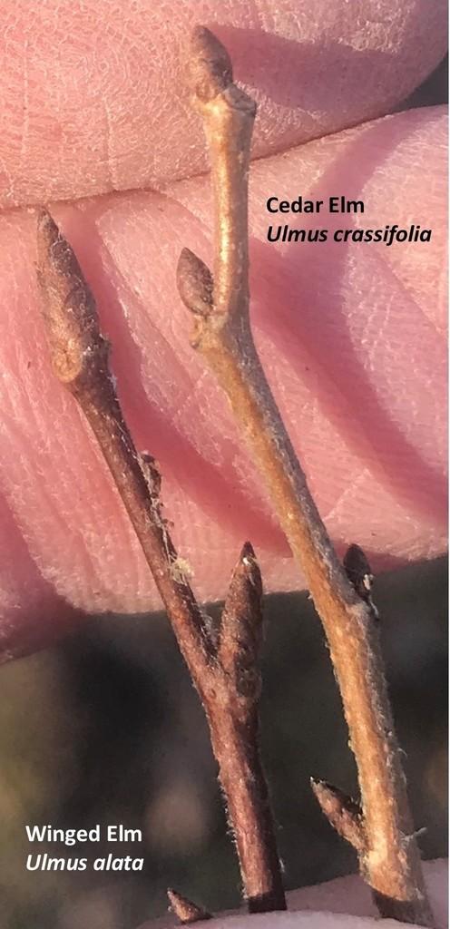 Winter twigs of Winged Elm vs. Cedar Elm