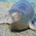 Mediterranean Monk Seal - Photo (c) Yiannis Banakakis, some rights reserved (CC BY-NC)