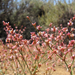 Wickerstem Buckwheat - Photo (c) randomtruth, some rights reserved (CC BY-NC-SA)