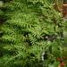 Polypodium californicum - Photo (c) dogtooth77, algunos derechos reservados (CC BY-NC-SA)