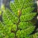 Polystichum neozelandicum zerophyllum - Photo (c) Jon Sullivan, algunos derechos reservados (CC BY)