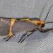Polilla de Liquen de Bandas Delgadas - Photo (c) Benjamin Schwartz, algunos derechos reservados (CC BY-NC)