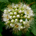 Physocarpus capitatus - Photo (c) James Gaither, algunos derechos reservados (CC BY-NC-ND)