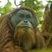 Ουρακοτάγκος Του Ταπανούλι - Photo (c) Tim Laman, μερικά δικαιώματα διατηρούνται (CC BY)