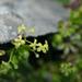 Galium tarokoense - Photo (c) Cheng-Tao Lin,  זכויות יוצרים חלקיות (CC BY)