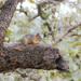 Sciurus oculatus shawi - Photo (c) Juan Cruzado Cortés,  זכויות יוצרים חלקיות (CC BY-SA)