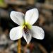 Viola lanceolata - Photo (c) Bob Peterson, algunos derechos reservados (CC BY-NC-SA)