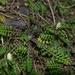 Leptinella minor - Photo (c) Jon Sullivan, μερικά δικαιώματα διατηρούνται (CC BY)