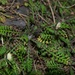 Leptinella minor - Photo (c) Jon Sullivan, some rights reserved (CC BY)