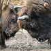 Bison - Photo (c) jinterwas, some rights reserved (CC BY-NC)