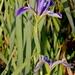 Prairie Iris - Photo (c) Mary Keim, some rights reserved (CC BY-NC-SA)