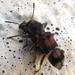 Blackburniella intricata - Photo (c) Pam Piombino, algunos derechos reservados (CC BY-NC)