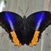 Mariposas Búho - Photo (c) Pavel Kirillov, algunos derechos reservados (CC BY-SA)
