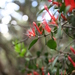 Red Mistletoe - Photo (c) Wildlife Travel, some rights reserved (CC BY-NC-ND)