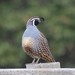 California Quail - Photo (c) Anne, some rights reserved (CC BY-NC)