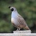 California Quail - Photo (c) Anne Parsons, some rights reserved (CC BY-NC)