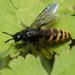 Dasyscolia ciliata - Photo (c) Eleftherios Katsillis, algunos derechos reservados (CC BY)