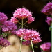 Valeriana Roja - Photo (c) Katie Claypoole, algunos derechos reservados (CC BY-ND)