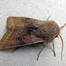 Orthosia opima - Photo (c) richardjaybee,  זכויות יוצרים חלקיות (CC BY-NC)