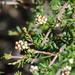 Cryptandra lanosiflora - Photo (c) Lise Kool, some rights reserved (CC BY-NC)
