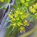 Lomatium parryi - Photo (c) lonnyholmes, alguns direitos reservados (CC BY-NC)